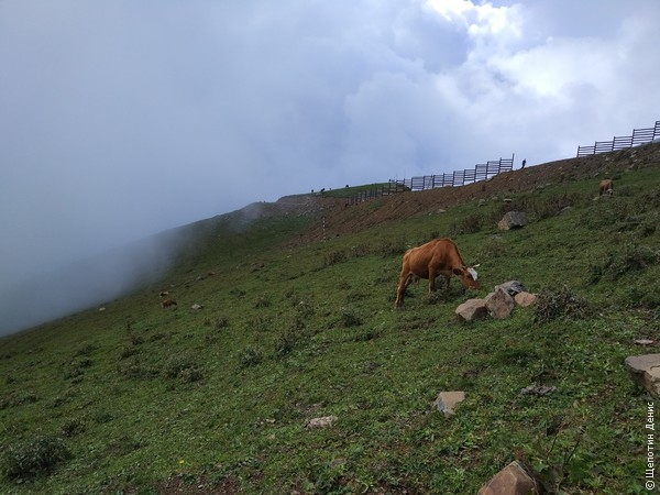 На вершине, не обращая внимания на довольно крутые склоны и туристов, спокойно паслись коровы